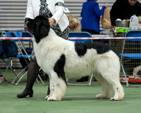 Southern Newfoundland Club Open Show - 28 November 2015